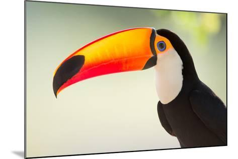 Toco Toucan (Ramphastos Toco), Pantanal Wetlands, Brazil--Mounted Photographic Print