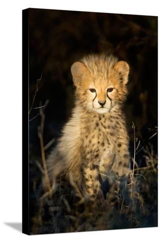 Cheetah (Acinonyx Jubatus) Cub in a Forest, Ndutu, Ngorongoro Conservation Area, Tanzania--Stretched Canvas Print