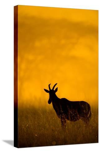 Topi (Damaliscus Lunatus) Standing in Forest, Serengeti National Park, Tanzania--Stretched Canvas Print