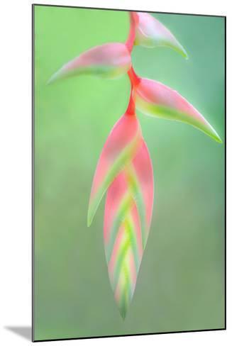 Heliconia Flower, Sarapiqui, Costa Rica--Mounted Photographic Print