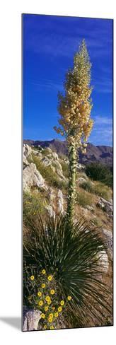 Tree at Anza Borrego Desert State Park, Borrego Springs, California, Usa--Mounted Photographic Print
