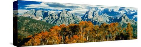 Aspen Trees in a Forest, Teton Range, Grand Teton National Park, Wyoming, Usa--Stretched Canvas Print
