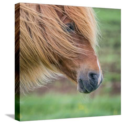 Portrait of Icelandic Horse, Iceland--Stretched Canvas Print