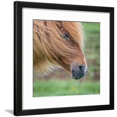 Portrait of Icelandic Horse, Iceland--Framed Art Print