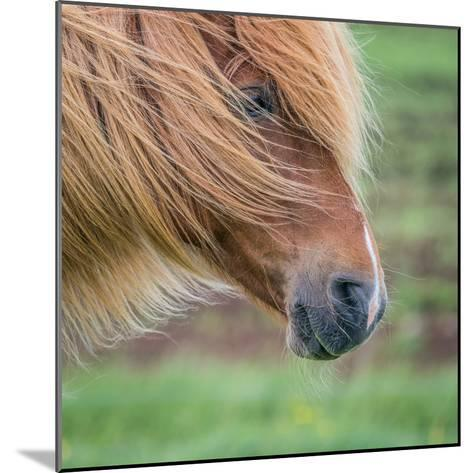 Portrait of Icelandic Horse, Iceland--Mounted Photographic Print