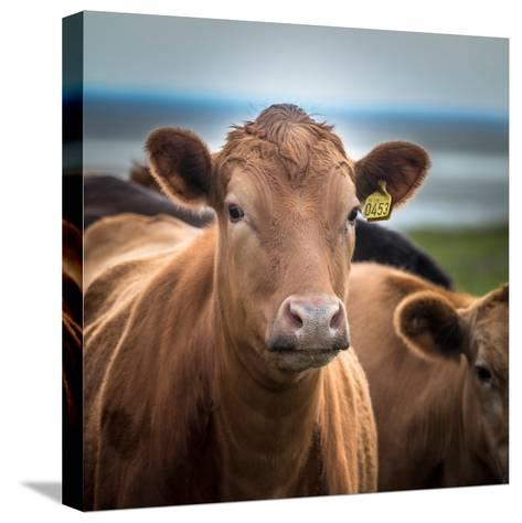 Portrait of Cows Grazing, Iceland--Stretched Canvas Print
