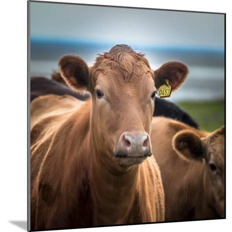 Portrait of Cows Grazing, Iceland--Mounted Photographic Print