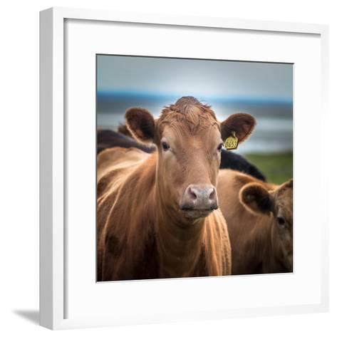 Portrait of Cows Grazing, Iceland--Framed Art Print