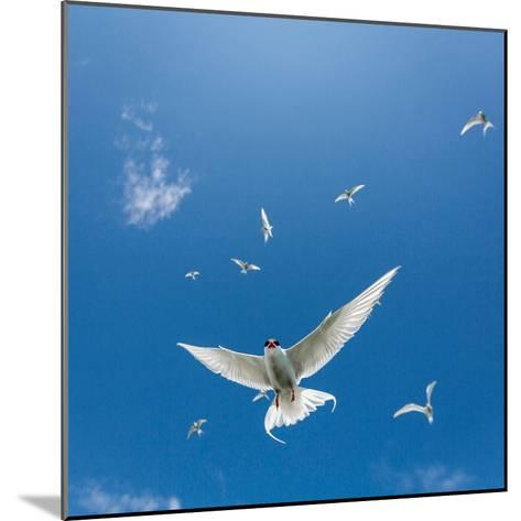 Arctic Terns Flying, Iceland--Mounted Photographic Print