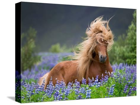 Horse Running by Lupines. Purebred Icelandic Horse in the Summertime with Blooming Lupines, Iceland--Stretched Canvas Print