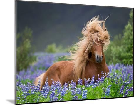 Horse Running by Lupines. Purebred Icelandic Horse in the Summertime with Blooming Lupines, Iceland--Mounted Photographic Print