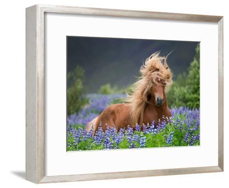 Horse Running by Lupines. Purebred Icelandic Horse in the Summertime with Blooming Lupines, Iceland--Framed Art Print
