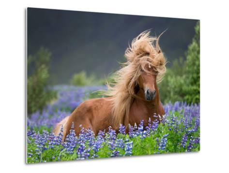 Horse Running by Lupines. Purebred Icelandic Horse in the Summertime with Blooming Lupines, Iceland--Metal Print