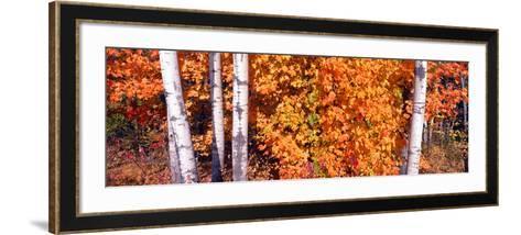 Maple and Birch Trees Near Baywood, Wisconsin--Framed Art Print