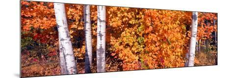 Maple and Birch Trees Near Baywood, Wisconsin--Mounted Photographic Print
