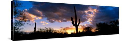 Saguaro Cactus, Sunset, Tucson--Stretched Canvas Print