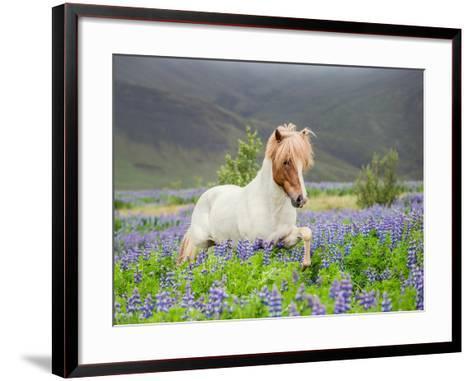 Icelandic Horse Running in Lupine Fields, Iceland--Framed Art Print