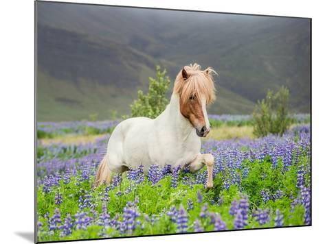Icelandic Horse Running in Lupine Fields, Iceland--Mounted Photographic Print