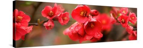 Close-Up of Red Flowers in Bloom--Stretched Canvas Print