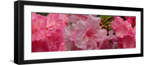 Close-Up of Wet Rhododendron Flowers--Framed Art Print