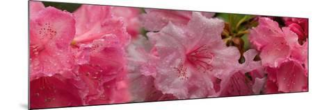 Close-Up of Wet Rhododendron Flowers--Mounted Photographic Print
