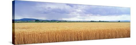 Golden Field under Overcast Sky--Stretched Canvas Print
