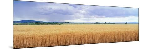Golden Field under Overcast Sky--Mounted Photographic Print