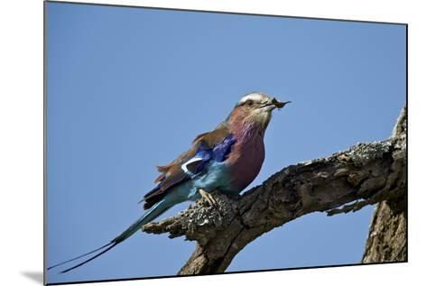 Lilac-Breasted Roller (Coracias Caudata) with an Insect-James Hager-Mounted Photographic Print