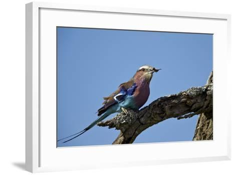 Lilac-Breasted Roller (Coracias Caudata) with an Insect-James Hager-Framed Art Print