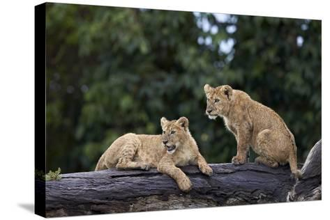 Lion (Panthera Leo) Cubs on a Downed Tree Trunk in the Rain-James Hager-Stretched Canvas Print