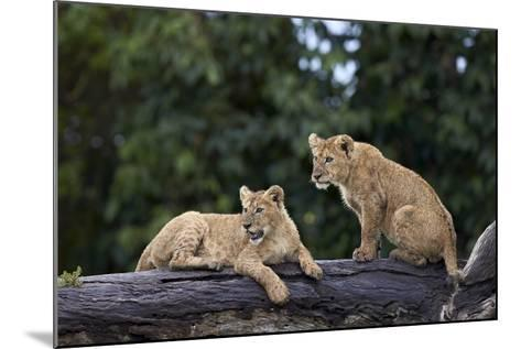 Lion (Panthera Leo) Cubs on a Downed Tree Trunk in the Rain-James Hager-Mounted Photographic Print