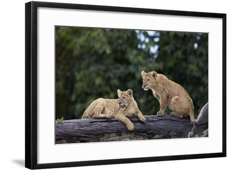 Lion (Panthera Leo) Cubs on a Downed Tree Trunk in the Rain-James Hager-Framed Art Print