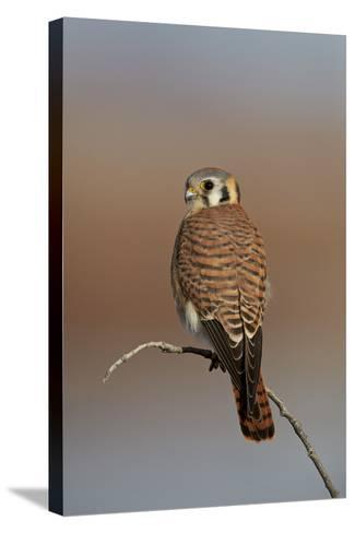 American Kestrel (Sparrow Hawk) (Falco Sparverius) Female-James Hager-Stretched Canvas Print