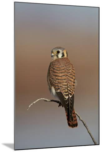 American Kestrel (Sparrow Hawk) (Falco Sparverius) Female-James Hager-Mounted Photographic Print