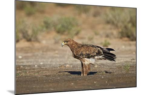 Tawny Eagle (Aquila Rapax), Kgalagadi Transfrontier Park-James Hager-Mounted Photographic Print