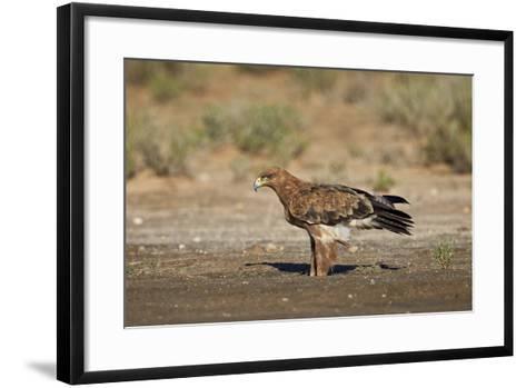 Tawny Eagle (Aquila Rapax), Kgalagadi Transfrontier Park-James Hager-Framed Art Print