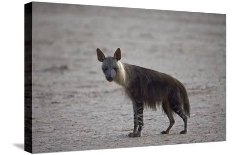 Brown Hyena (Hyaena Brunnea) (Formerly Parahyaena Brunnea)-James Hager-Stretched Canvas Print