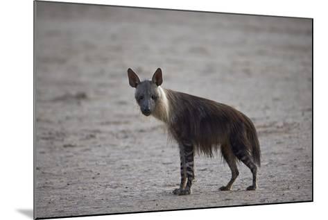 Brown Hyena (Hyaena Brunnea) (Formerly Parahyaena Brunnea)-James Hager-Mounted Photographic Print