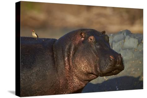 Hippopotamus (Hippopotamus Amphibius) with a Red-Billed Oxpecker (Buphagus Erythrorhynchus)-James Hager-Stretched Canvas Print