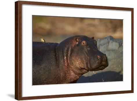 Hippopotamus (Hippopotamus Amphibius) with a Red-Billed Oxpecker (Buphagus Erythrorhynchus)-James Hager-Framed Art Print