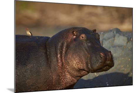 Hippopotamus (Hippopotamus Amphibius) with a Red-Billed Oxpecker (Buphagus Erythrorhynchus)-James Hager-Mounted Photographic Print