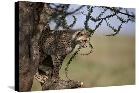 Cheetah (Acinonyx Jubatus) Cub in an Acacia Tree-James Hager-Stretched Canvas Print