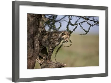 Cheetah (Acinonyx Jubatus) Cub in an Acacia Tree-James Hager-Framed Art Print