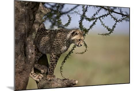 Cheetah (Acinonyx Jubatus) Cub in an Acacia Tree-James Hager-Mounted Photographic Print
