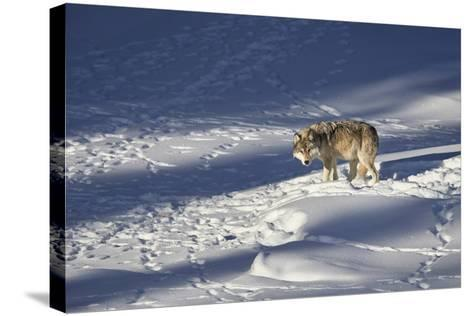 Gray Wolf (Canis Lupus) 870F of the Junction Butte Pack in the Winter-James Hager-Stretched Canvas Print
