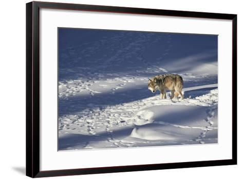 Gray Wolf (Canis Lupus) 870F of the Junction Butte Pack in the Winter-James Hager-Framed Art Print