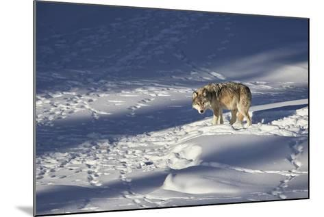Gray Wolf (Canis Lupus) 870F of the Junction Butte Pack in the Winter-James Hager-Mounted Photographic Print