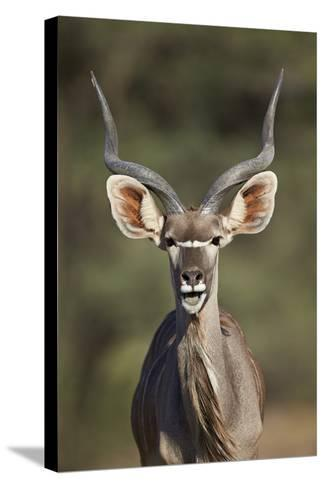 Greater Kudu (Tragelaphus Strepsiceros) Buck with His Mouth Open-James Hager-Stretched Canvas Print