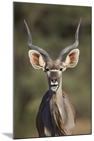 Greater Kudu (Tragelaphus Strepsiceros) Buck with His Mouth Open-James Hager-Mounted Photographic Print
