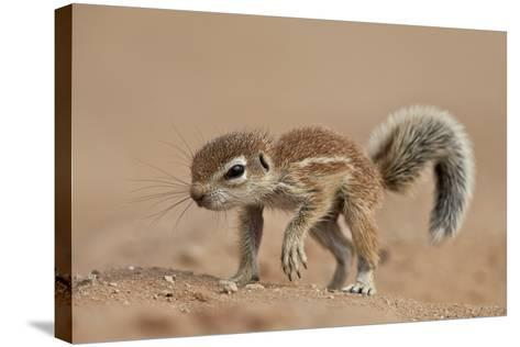 Baby Cape Ground Squirrel (Xerus Inauris)-James Hager-Stretched Canvas Print